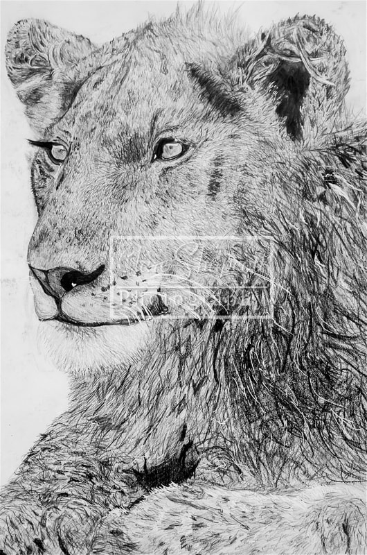 Artists Sketch Lion
